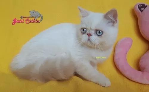 Filhote 1º exotic shorthair cream lynx point de olhos azuis