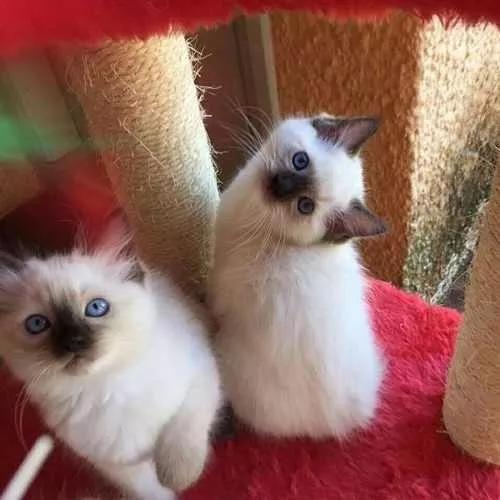 Siames lindos filhotes apronta entrega