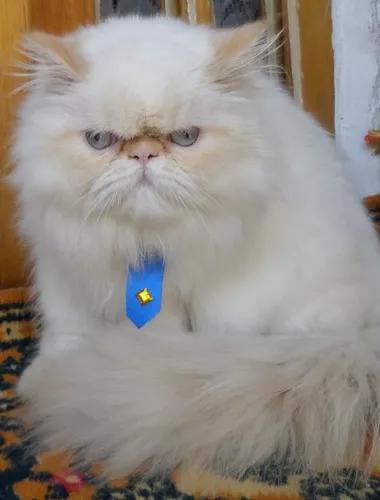 Vendo lindos filhotes de gatos persa e himalaia