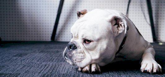 Cachorro & cia saiba tudo sobre cachorros
