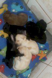 Filhotes de labrador 2 fêmeas e 5 machos