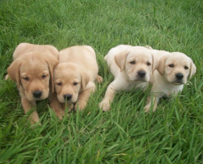 Labrador amarelochocolate preto lindos filhotes