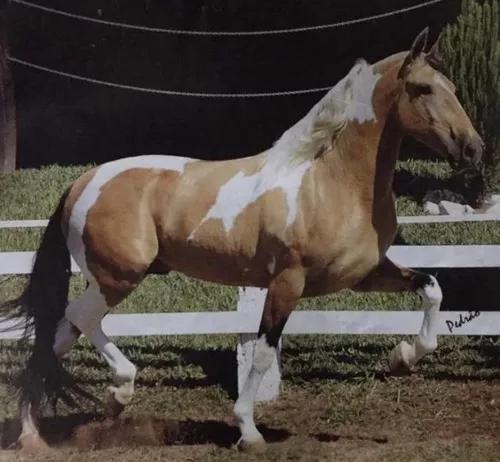 Cavalo campolina pampa machador só venda!!!