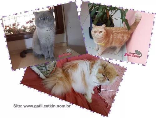 Gatos adultos persa e exotic shorthair. raças legítimas.