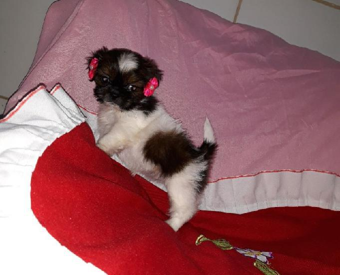 Shih tzu tricolor miniatura