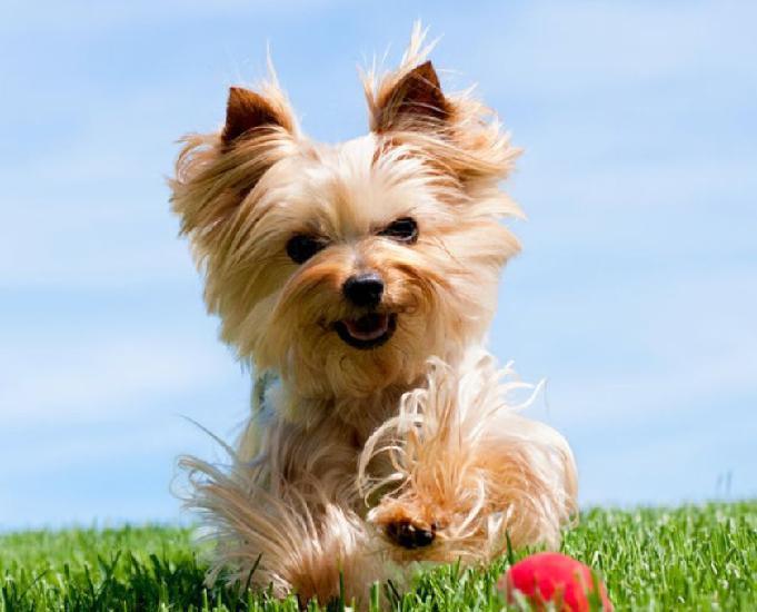 Yorkshire terrier anões