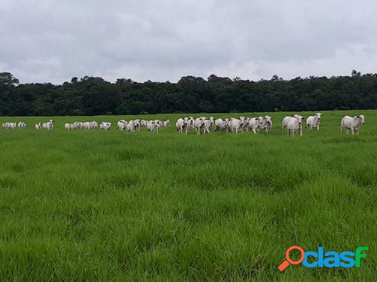 FAZENDA 990 HA, COM 600 HA DE PASTO EM NOVA UBIRATÃ-MT - Fazenda a Venda no bairro Rural - Nova Ubiratã, MT - Ref.: PLINIO-PASTO