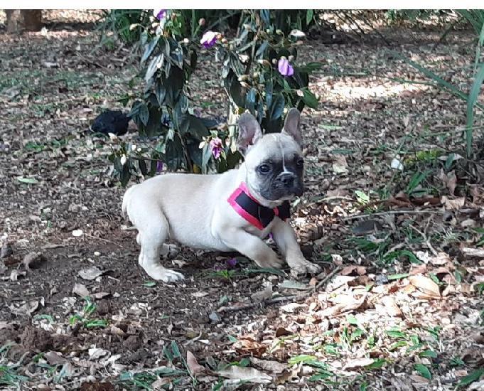Lindo filhote de bulldog francês - criação profissional