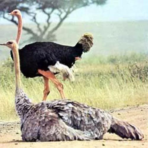 Apostila aprenda tudo sobre a criação de avestruz