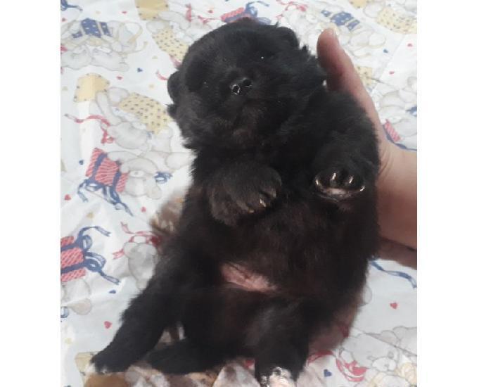 Filhote spitz alemão pequeno (ursinho) 10 x sem acréscimo