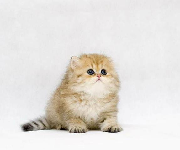 Gato persa gatil ps