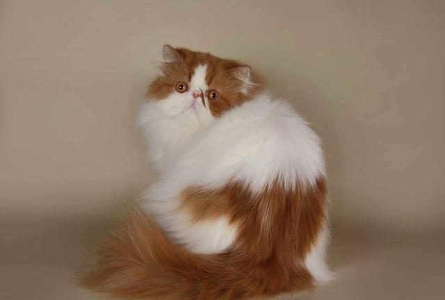 Gato persa com pedigre, gatil ps