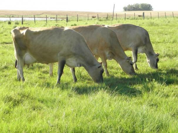 Vacas e novilhas jersey