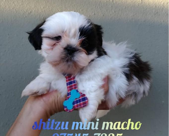 Mini shitzu