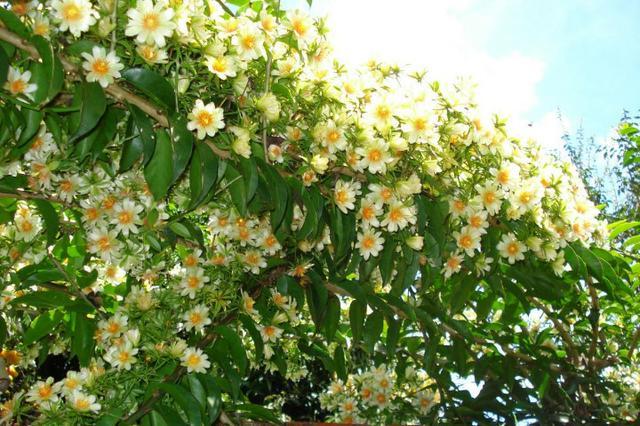 Muda de ora pro nobis - planta rica em proteína - já