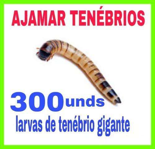 Ajamar tenébrios - larvas de tenébrio gigante 300unidades