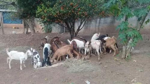Cabritos / cabritas / cabras / bodes
