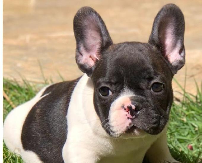 Canil lucas brina bulldog inglês, francês e jack russell