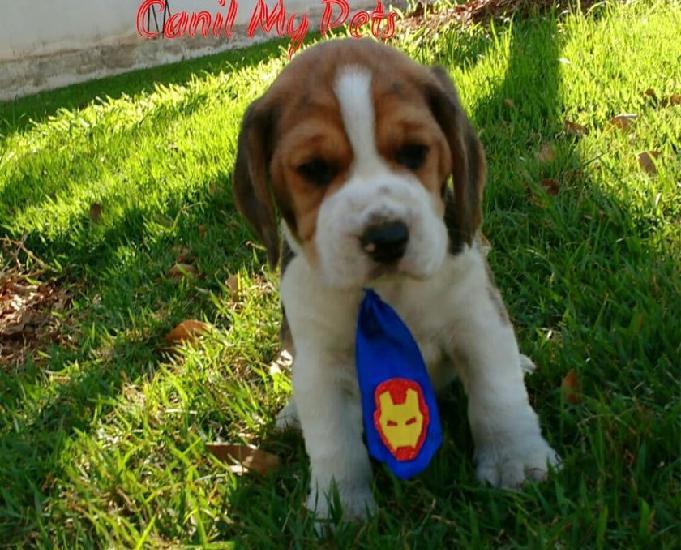 Filhotes de beagle 13 polegadas - canil my pets