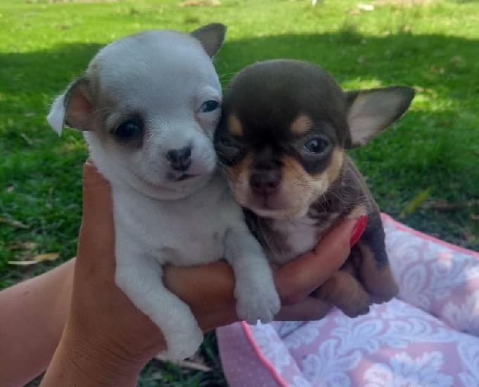 Chihuahua filhotes disponíveis RJ