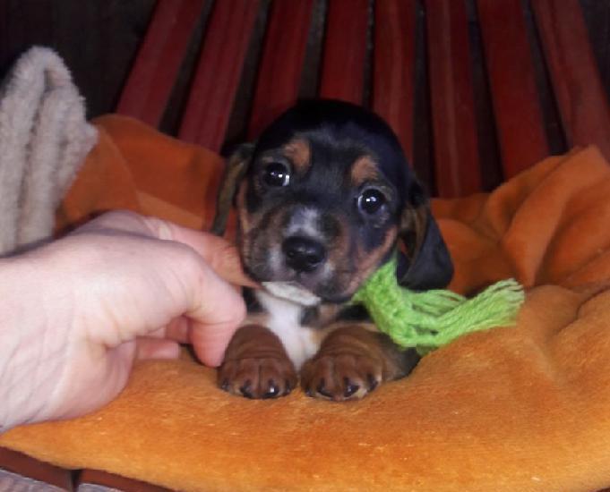 Lindo filhote dachshund x chihuahua.