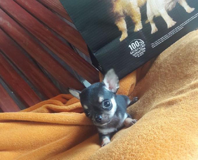 Lindo filhote de pinscher miniatura