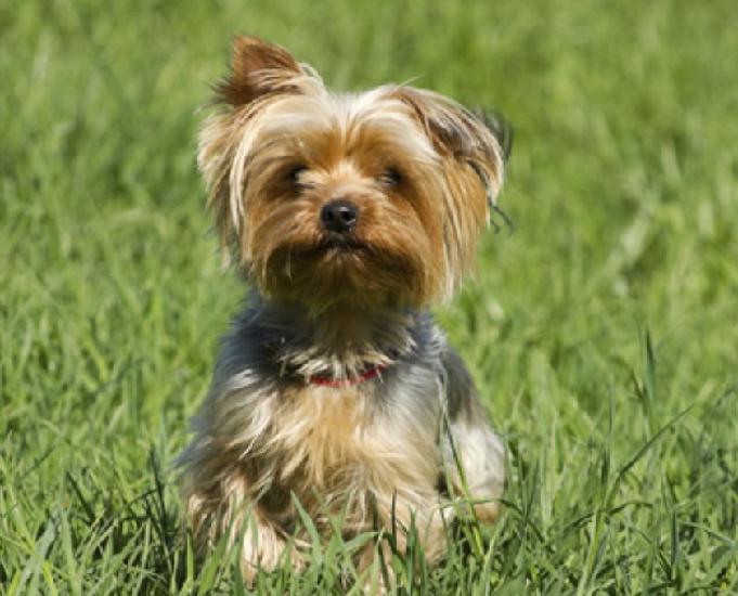 Yorkshire Terrier Fofinhos