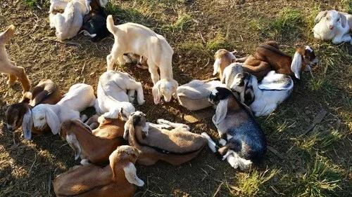 Cabrito filhote -aptidão- leite carne - bode e cabras
