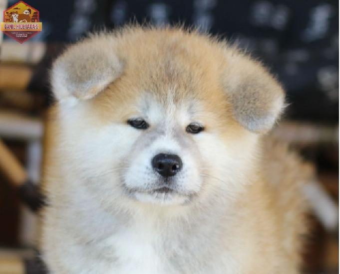 Filhotes de cães da raça akita inu disponíveis para venda