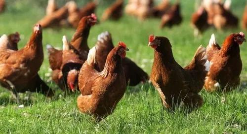 Apostila aprenda fabricar ração p galinha caipira e