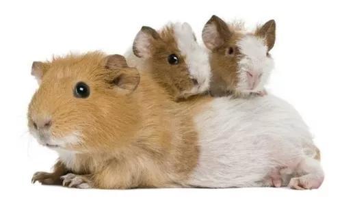 Apostila aprenda tudo sobre a criação de porquinho da