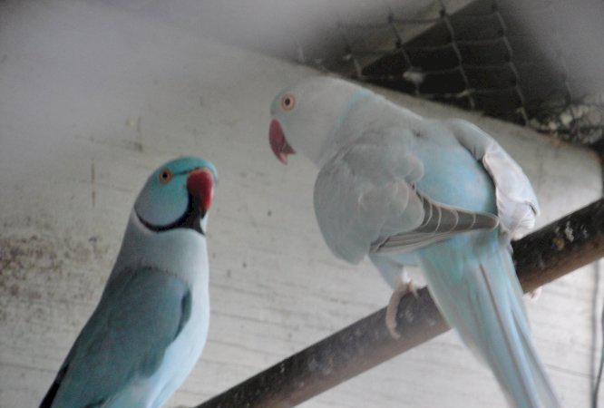 Filhotes Ring Neck Azul/Canela mansos anilhados e sexados