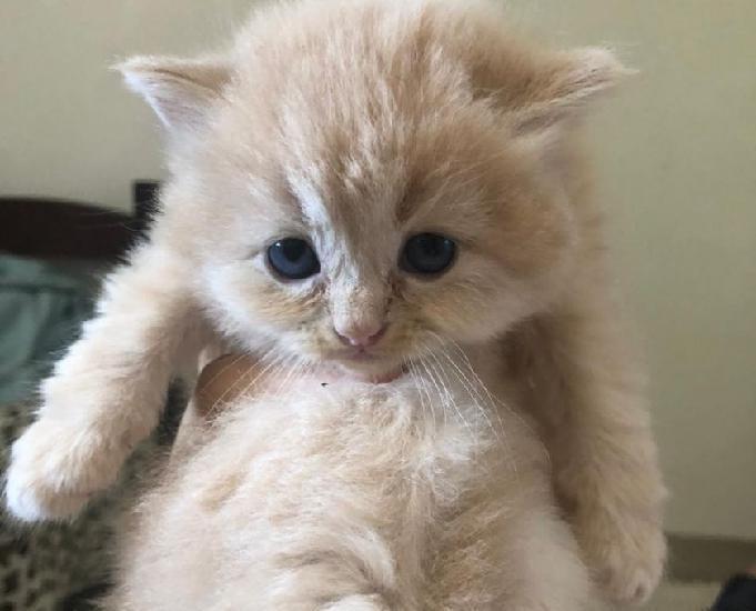 Filhotes de gato persa para venda