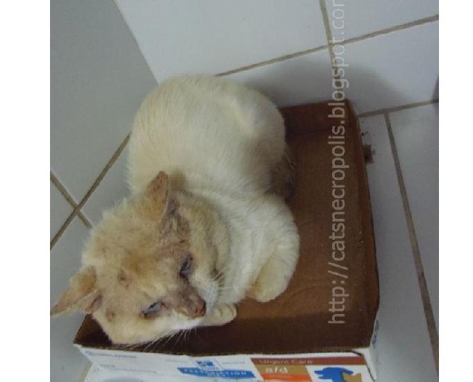 Raffaello - gatão redpoint para adoção em Santos