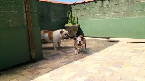 Bulldog inglês macho filhote com pedigree porte curtinho
