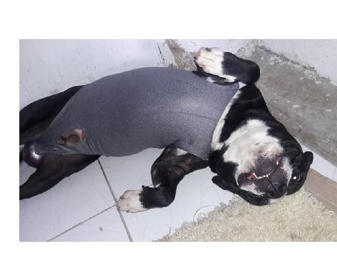 Cão pitbull - 4 anos - castrado
