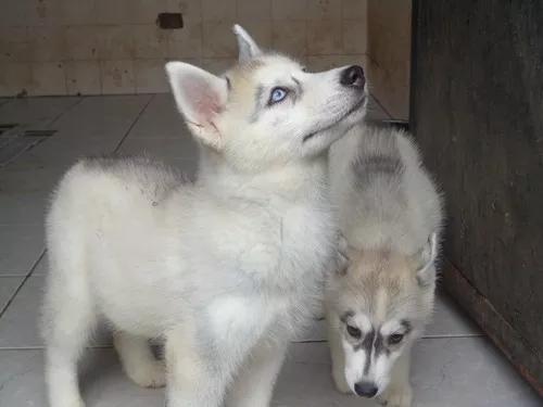 Filhotes de husky siberiano machos e fêmeas leia