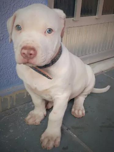 Pitbull red nose albino