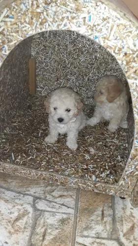 Vendo poodle toy micro filhotinhos macho e fêmea