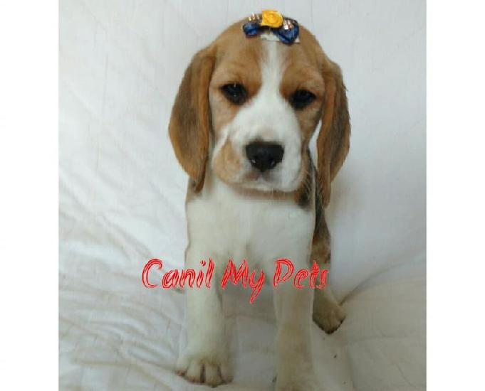 Promoção filhote fêmea de beagle - canil my pets