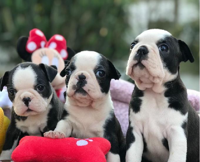 Boston terrier presente de natal kadosh dogs kennel