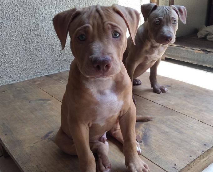 Vendo filhotes de pit bull terrier
