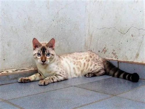 Gatos bengals snow lynx e mink cor rara