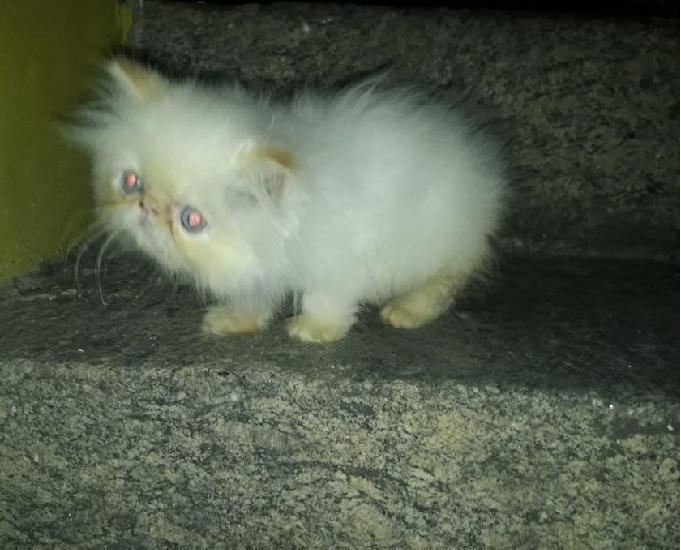 Linda fêmea de filhote fêmea de gato persa