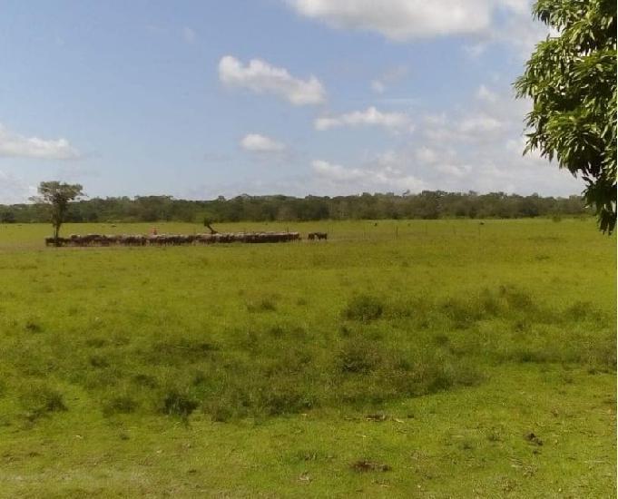 Fazenda de Gado e Búfalo no Marajó no Pará