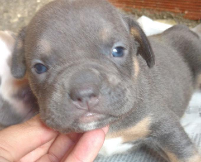 American Bully todas as cores