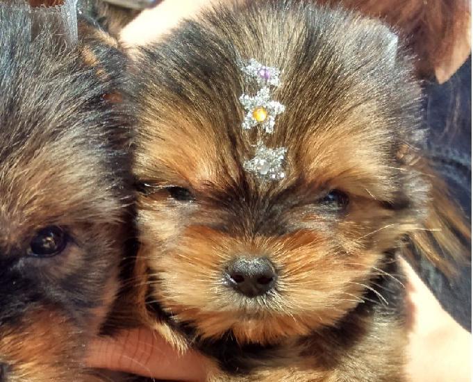 Yorkshire Terrier cães mais requisitados para companhia
