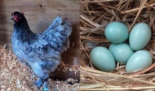 Ovos galados azul e verde, raças sangue azul