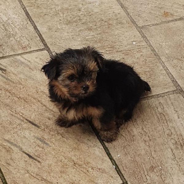 Yorkshire terrier mini (macho)