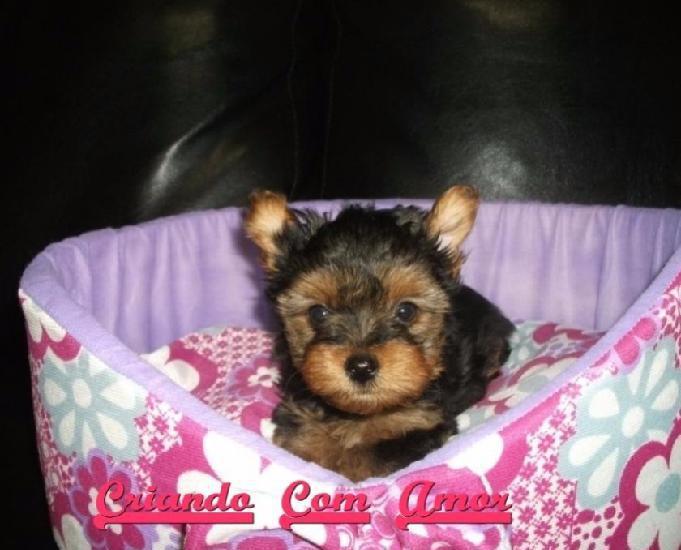 YorkShire Terrier Mini Filhotes Macho e Fêmea